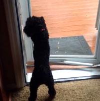 Un perrito le abre la puerta a un perro más viejo