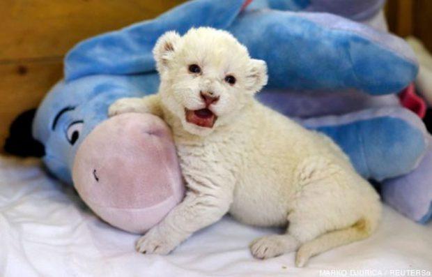 Un cachorro de león blanco aprendiendo a rugir