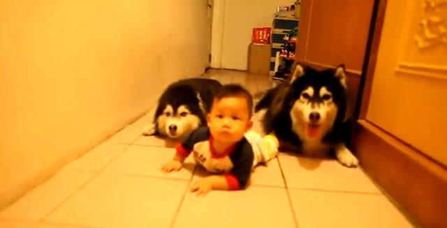 Dos perros Alaskan malamute gatean junto a un bebé