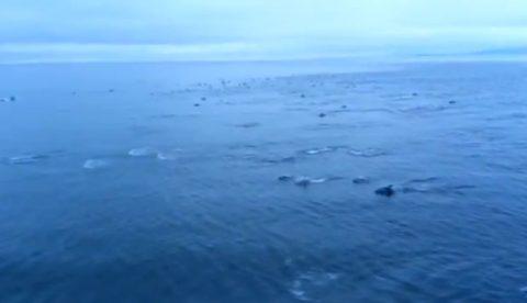Más de 1.000 delfines nadando junto a un ferry en su camino a Vancouver