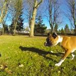 Duncan Lou Who, un cachorro de bóxer que solo tiene dos patitas