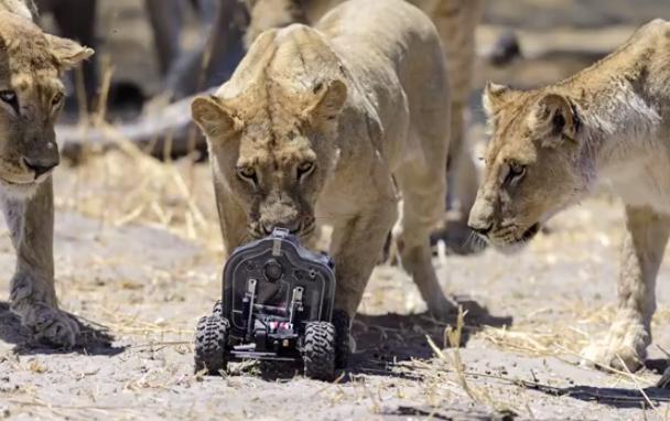 Fotografiando leones de cerca con una cámara integrada en un coche RC