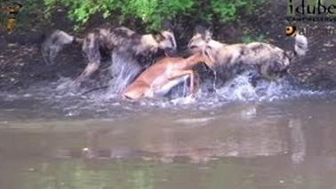Impala brutalmente devorado por perros salvajes