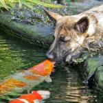 Un perro desarrolla una amistad especial con un pez