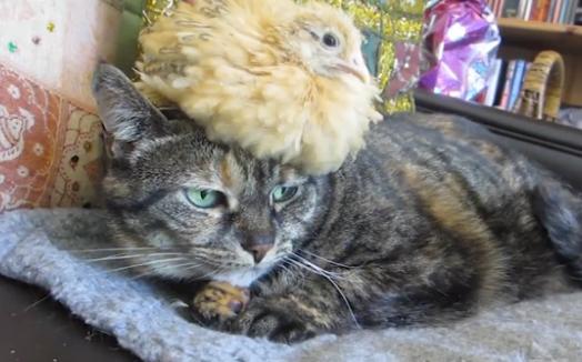 Pollito descansando encima de la cabeza de un gato