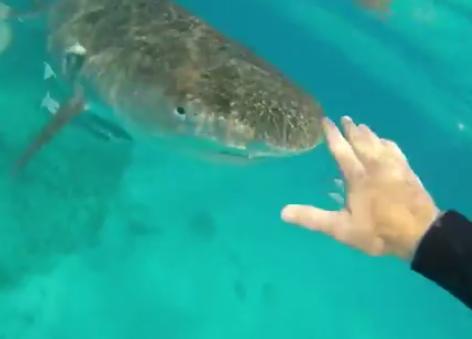 Aparta a un tiburón tigre dándole un manotazo