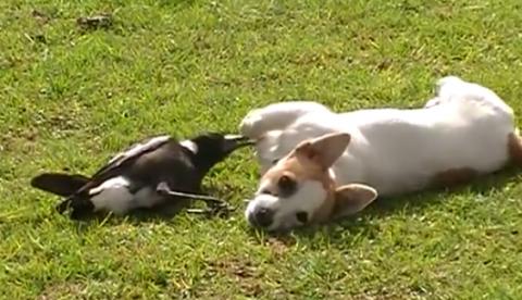 Una urraca y un perro, grandes amigos