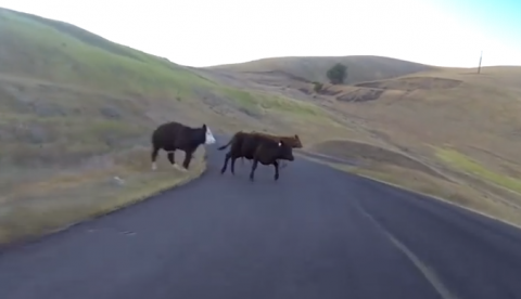 Choca contra una vaca cuando descendía a toda velocidad en longboard