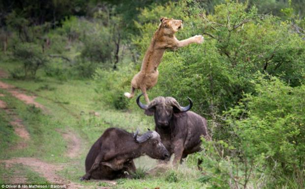 Dos búfalos salvan a otro más joven que estaba siendo devorado por unos leones (Fotos + Vídeo)
