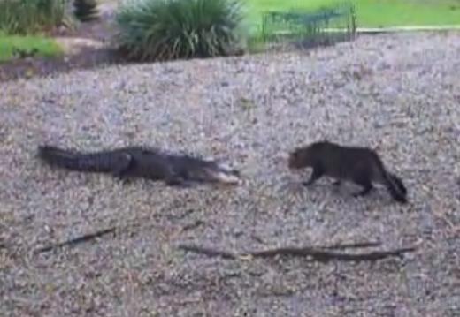 Caimán contra gato doméstico. ¿Quién ganará?