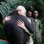 La emotiva vuelta a la selva de la chimpancé Wounda en la República del Congo