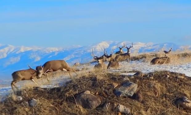 Un ciervo levanta a otro en el aire durante una pelea