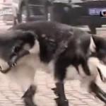 Un husky vuelve a caminar después de perder sus cuatro patas al ser maltratado