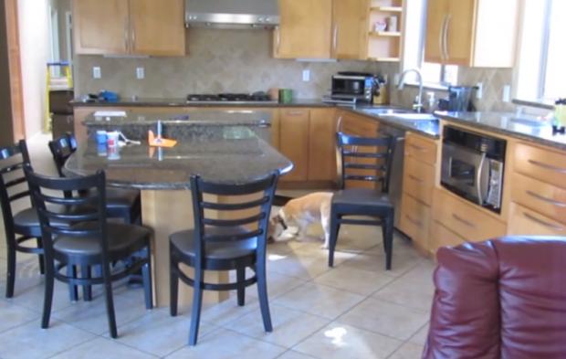 Perrita beagle robando nuggets de pollo de un horno a 160ºC