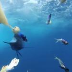 Un pez vela persiguiendo el cebo