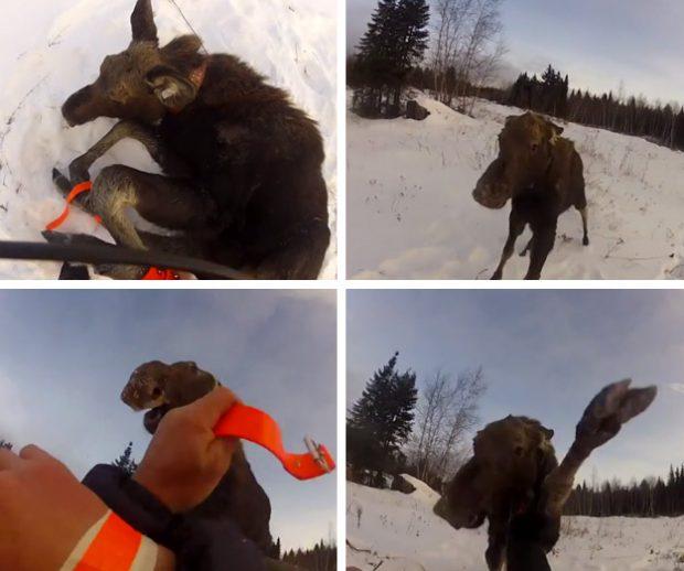 Un hombre libera a un alce hembra y este le ataca