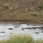 Una cebra se libra de la emboscada de un grupo de leonas