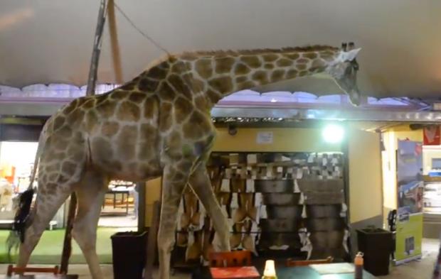 Cosas de Sudáfrica, estar en el restaurante de una reserva natural y que aparezca una jirafa