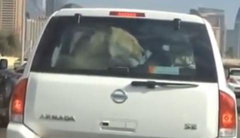 Una mujer graba en Dubai a un conductor que llevaba un león encerrado dentro del maletero de su coche