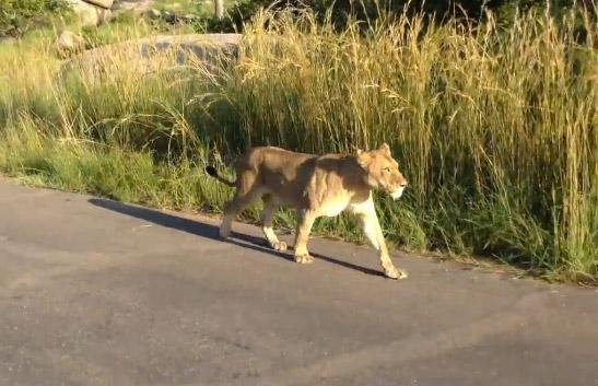 Leona ataca a un león para proteger a su cachorro
