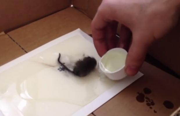 Cómo rescatar a un ratón de una trampa de pegamento