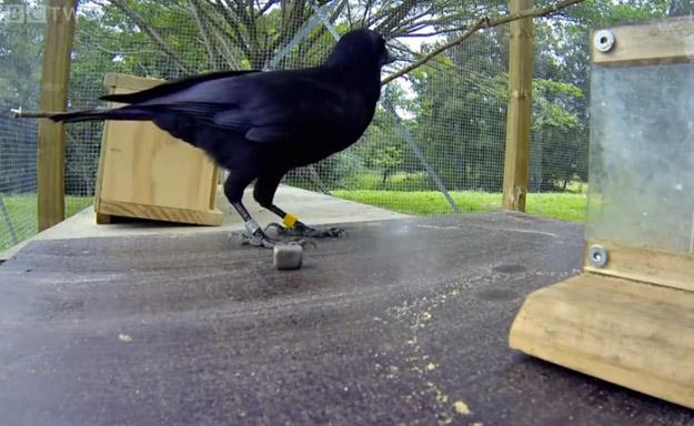 ¿Son los cuervos los mejores resolviendo de problemas?