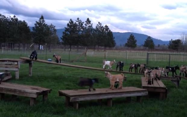 Cabras jugando al juego ''el suelo es lava''