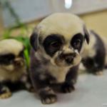 Nacen en China unos cachorros de perro con aspecto de osos panda