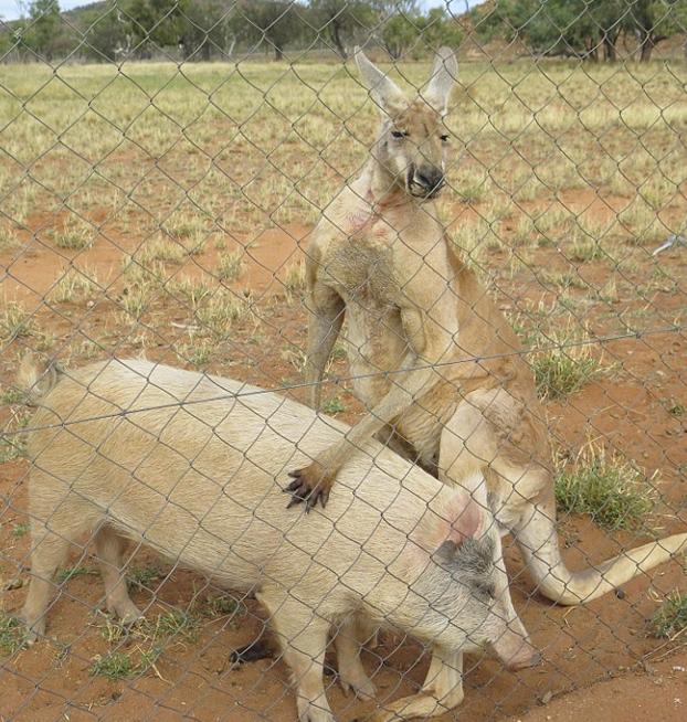 canguro-relaciones-cerdo-5