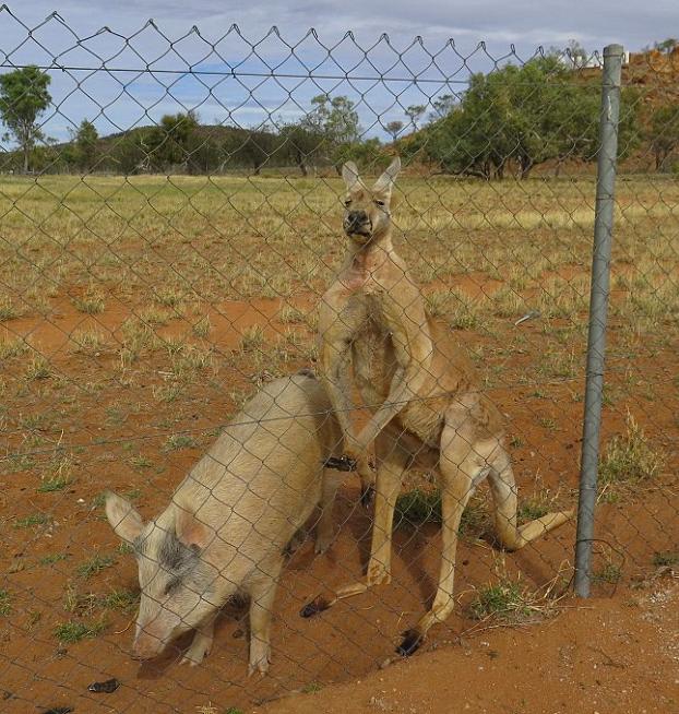 canguro-relaciones-cerdo-9