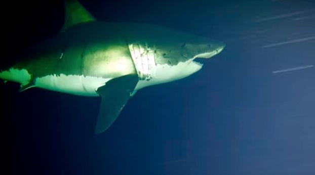 gran-tiburon-blanco-durmiendo