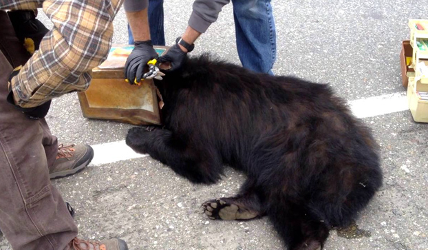 Liberan a un oso que tenía la cabeza atrapada en una lata grande (Vídeo)