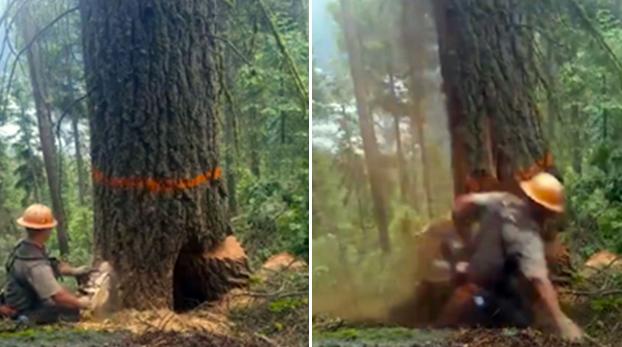 Un árbol decide ''vengarse'' del leñador que lo estaba cortando