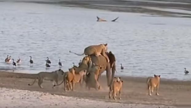 Este elefantito se enfrenta al ataque de 14 leonas hambrientas