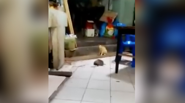 Un gato observa tranquilamente una pelea entre dos ratas