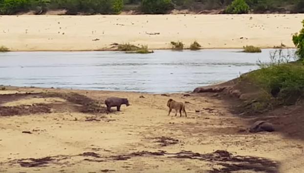 Una cría de hipopótamo defiende a su madre del ataque de un león hambriento