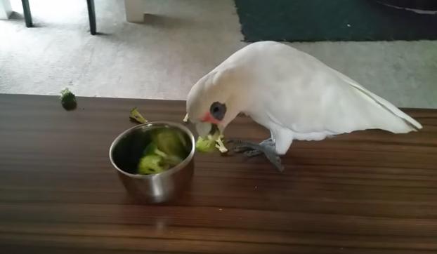 Este loro manda a la mierda a su dueña y se niega a comer el brócoli