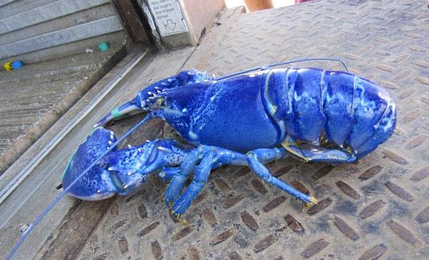 langosta-azul-brillante-3