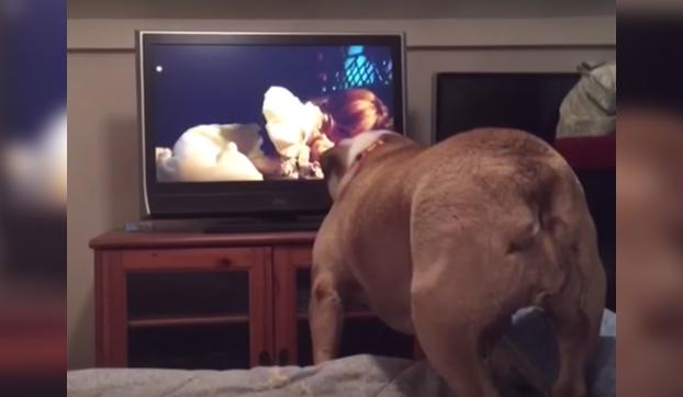 La Bulldog más protectora del mundo: intenta salvar a la protagonista de una película de miedo