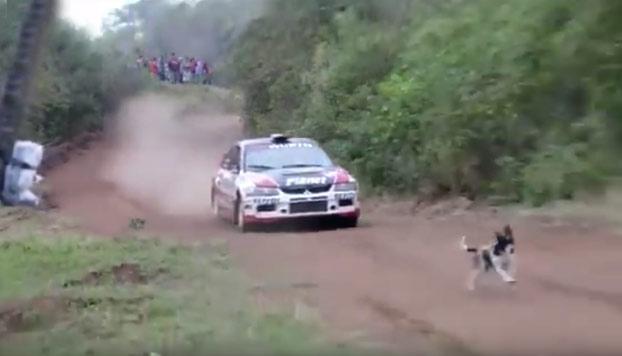 Un perro salva su vida en el último segundo durante un rally: El coche le salta por encima