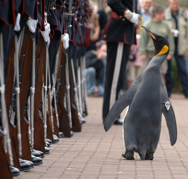 pinguino-pasa-revista-noruega-2