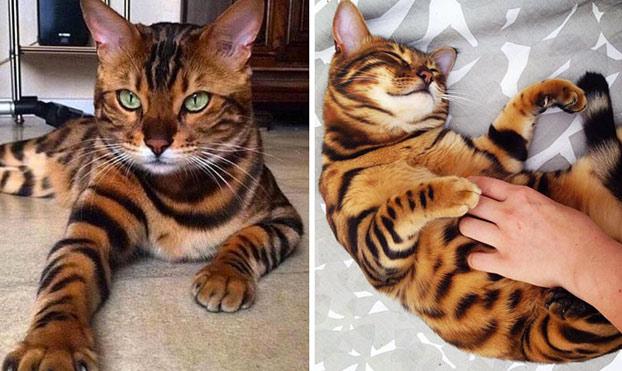 Thor, un gato de Bengala con el más bello pelaje atigrado