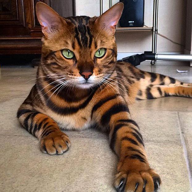 thor-gato-bengala-2