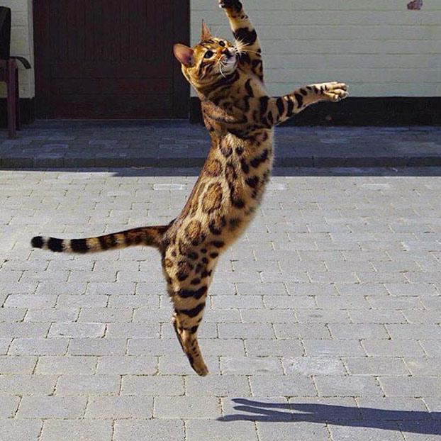 thor-gato-bengala-5