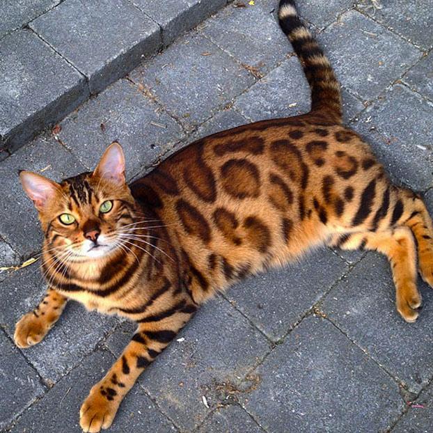 thor-gato-bengala-6