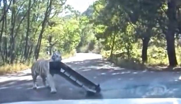 Un tigre arranca el parachoques de un coche en una reserva de China (Vídeo)