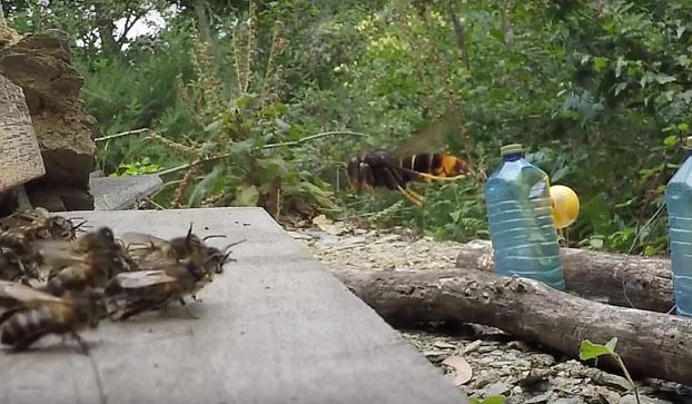 Ataque de avispa asiática a una colmena de abejas