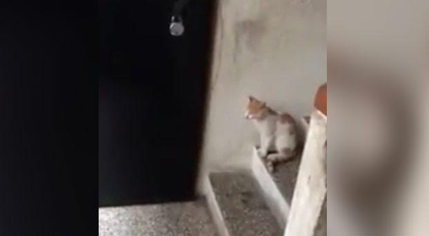 El gato que llama a la puerta y espera pacientemente a que le abran