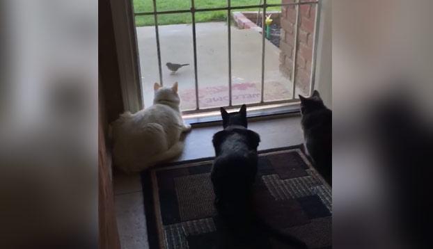 Tres gatos observando tranquilamente a un pajarito que está en la entrada