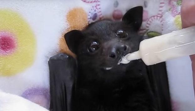 Un pequeño murciélago disfrutando como nadie de su batido